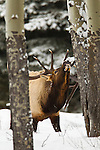 A mature bull elk tastes the air in Banff National Park, Alberta Canada, on Feb 4, 2011.  Photo by Gus Curtis