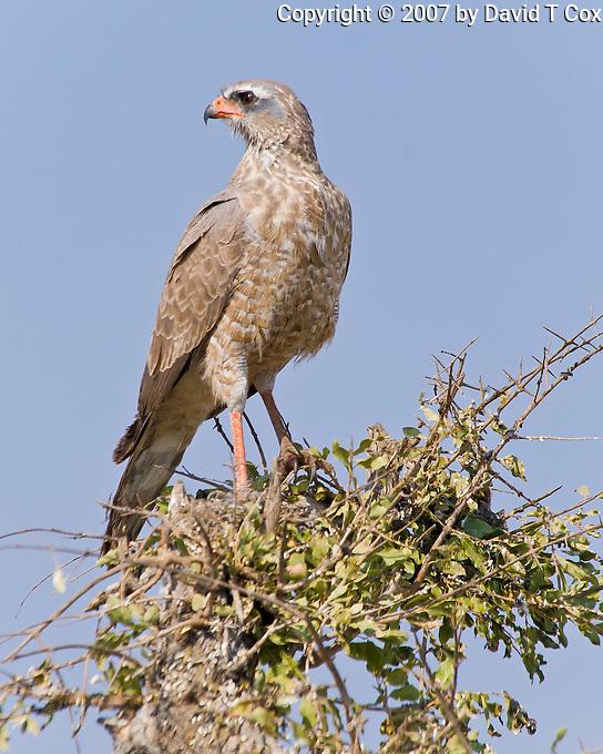 Pale Chanting Goshawk juvenile, Etosha NP, Namibia