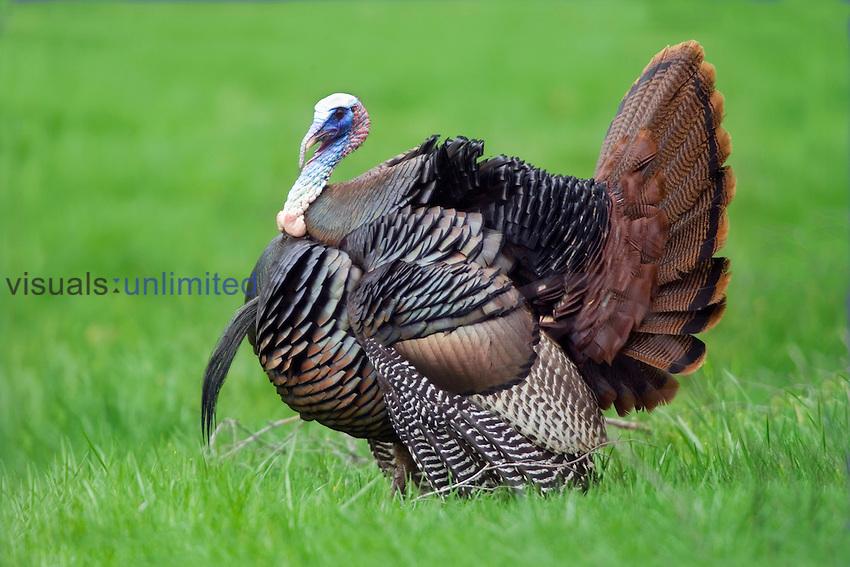 Male Turkey displaying.
