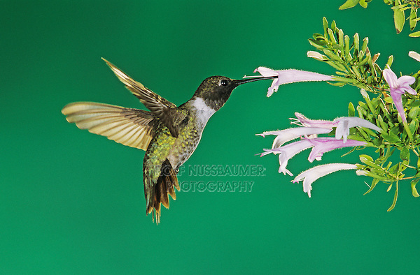 Black-chinned Hummingbird, Archilochus alexandri,male in flight  feeding on Mexican Oregano(Poliomintha maderensis), Miller Canyon, Arizona, USA, August 2004