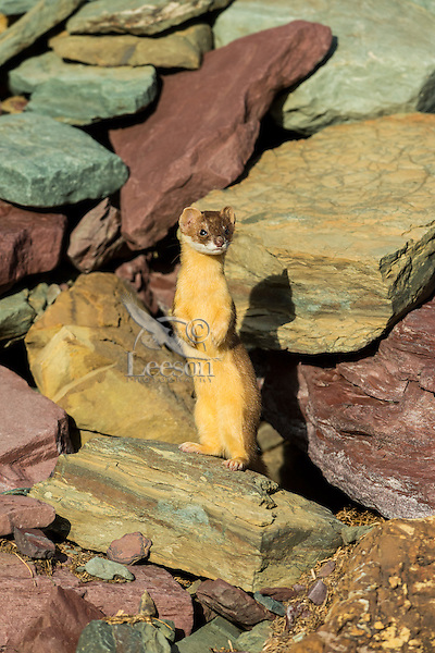 Long-tailed Weasel (Mustela frenata) standing on hind legs.  Northern Rocky Mountains.  Sept.  This weasel was hunting pika.  You can see the remains of an old pika hay pile in photo.