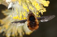 Hummelschweber, Großer Wollschweber, Bombylius major, Blütenbesuch an Sal-Weide, Saugrüssel, Nektarsuche, Blütenbestäubung, beeflies, beefly