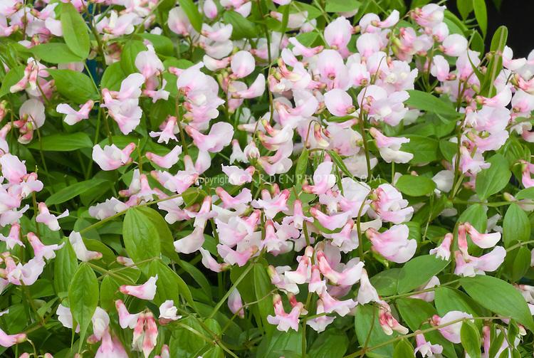 Lathyrus vernus 'Rosenelfe' Hardy sweet pea in spring pink flowers