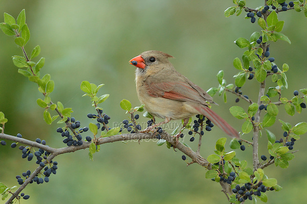 Northern Cardinal (Cardinalis cardinalis), adult female eating Elbow bush (Forestiera pubescens) berries, Hill Country, Texas, USA