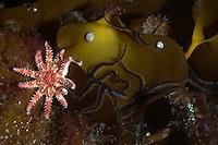 A kelp scene<br /> Moere coastline, Norway