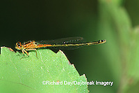 06329-001.02 Eastern Forktail (Ischnura verticalis) immature in wetland, Marion Co. IL