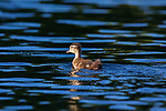 Duckling swimming in a northern Wisconsin lake.