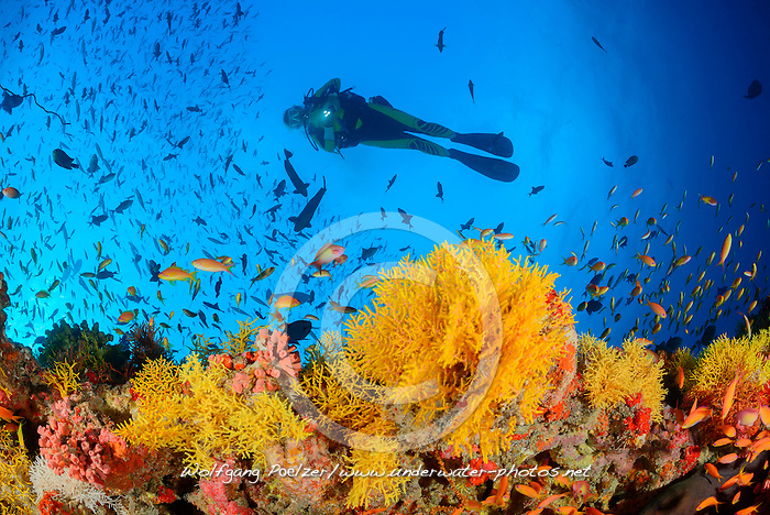 Acabaria sp.,  Korallenriff mit Gelbe Netzfaecher und Taucher, Coral reef with Yellow fan coral and scuba diver, Malediven, Indischer Ozean, Baa Atoll, Maldives, Indian Ocean