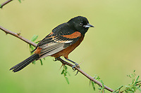 Orchard Oriole - Icterus spurius - adult male