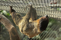 Linnaeus's two-toed sloth (Choloepus didactylus), in a cage in the Great Glasshouse in the Zone Guyane of the new Parc Zoologique de Paris or Zoo de Vincennes, (Zoological Gardens of Paris or Vincennes Zoo), which reopened April 2014, part of the Musee National d'Histoire Naturelle (National Museum of Natural History), 12th arrondissement, Paris, France. Picture by Manuel Cohen