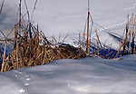 Animal tracks at edge of a pond in Horicon Marsh, Wisconsin