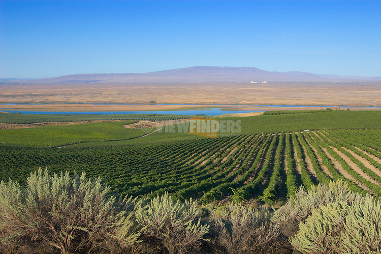 Vineyards, sagebrush and view across Columbia River to Hanford Reach and Rattlesnake Mountain; Sagemoor Vineyards, Tri-Cities, Washington. .#D0309140