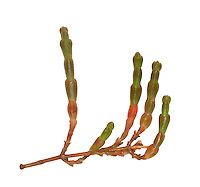 Perennial Glasswort - Sarcocornia perennis