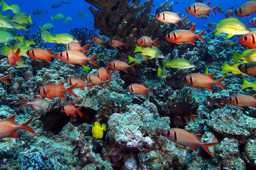 This Hawaiian reef scene includes a school of shoulderbar soldierfish Myripristis kuntee and bluestripe snapper Lutjanus kasmira. Hawaii.<br />