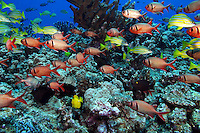 This Hawaiian reef scene includes a school of shoulderbar soldierfish Myripristis kuntee and bluestripe snapper Lutjanus kasmira. Hawaii.<br />