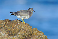 Surfbird (Aphriza virgata) in basic plumage. Monterey County, California. December.