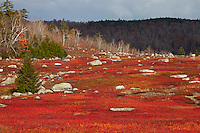 Autumn Blueberry Barrens  #L59