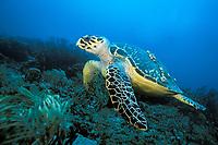 Hawskbill sea turtle, Eretmochelys imbricata, Florida