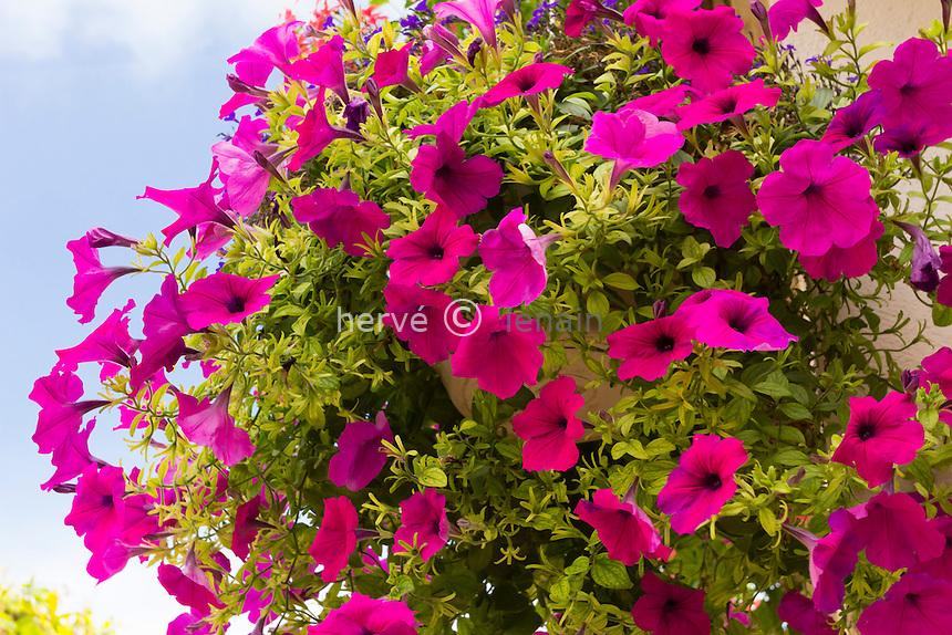 Petunia in a hanging basket // pétunia en panier suspendu