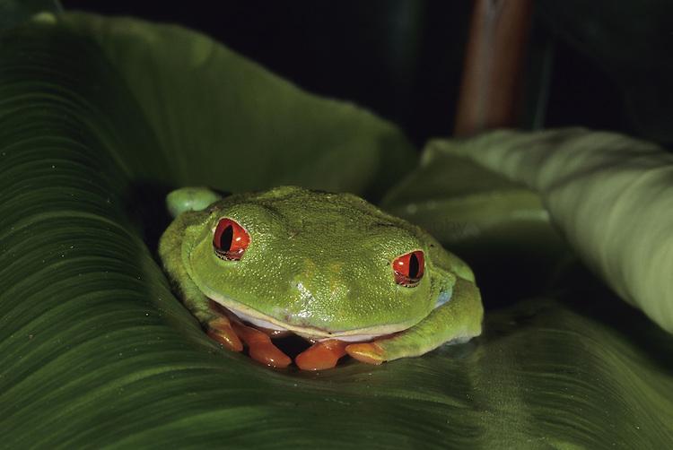 Red-eyed tree frog (Agalychnis callidryas) on leaf