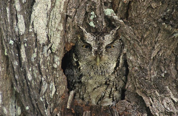 Eastern Screech-Owl, Megascops asio, adult in hole in mesquite tree camouflaged, Willacy County, Rio Grande Valley, Texas, USA
