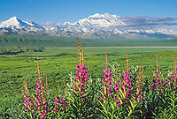 Summer landscape of fireweed and Mt. Denali, Denali National Park, Alaska