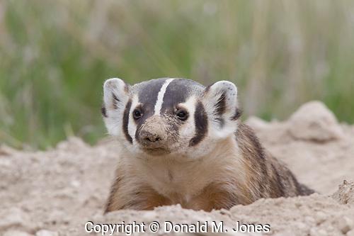 Badger (Taxidea taxus)
