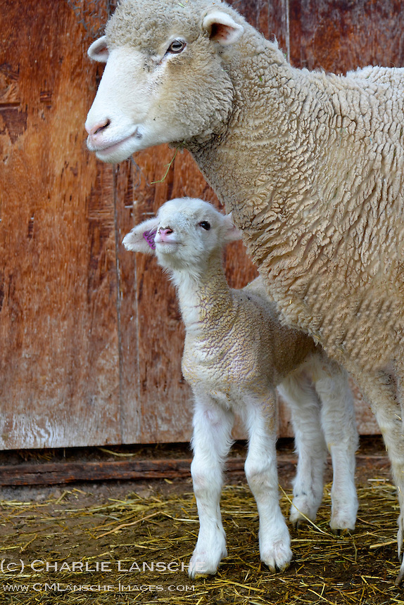 Newborn lamb.  Summit County, Utah.  February 2012.