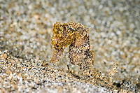Spotted seahorse, Hippocampus kuda, Bunaken Marine Park, North Sulawesi, Indonesia, Pacific Ocean, vulnerable