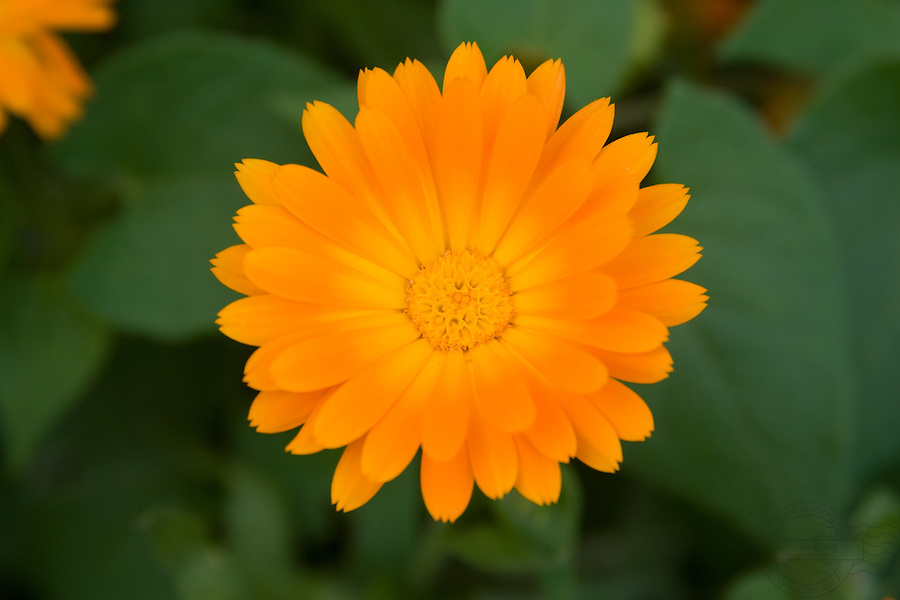 Closeup of a bright yellow orange flower with a nice blurry background