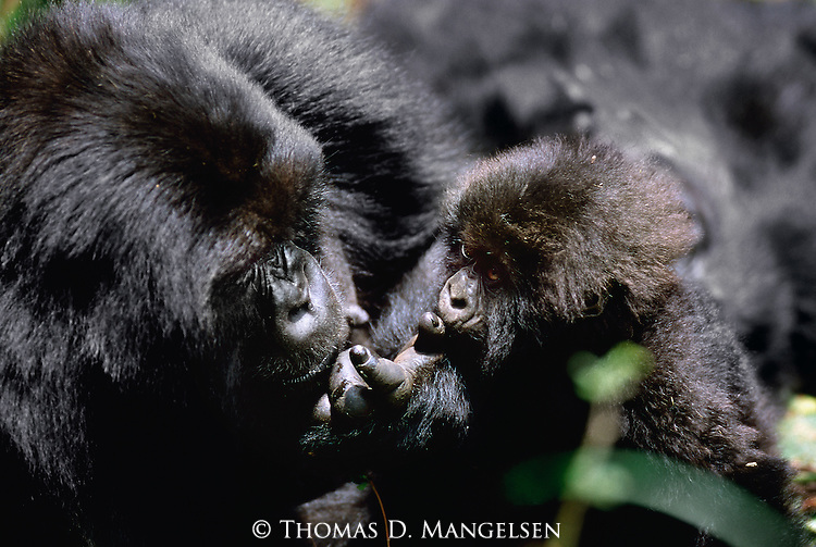 In the mountainous forests of Volcanoes National Park in Rwanda, the connection of motherhood bridges every new learning encounter shared between a gorilla mother and her young baby.
