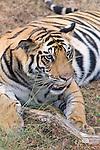 Bengal Tiger, Panthera tigris tigris, resting in forest, Bandhavgarh National Park.India....