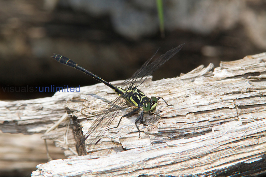 Male Northern Pygmy Clubtail Dragonfly (Lanthus parvulus), New Hampshire, USA