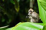Long-tailed Macaque (Macaca fascicularis) juvenile feeding, Tawau Hills Park, Sabah, Borneo, Malaysia