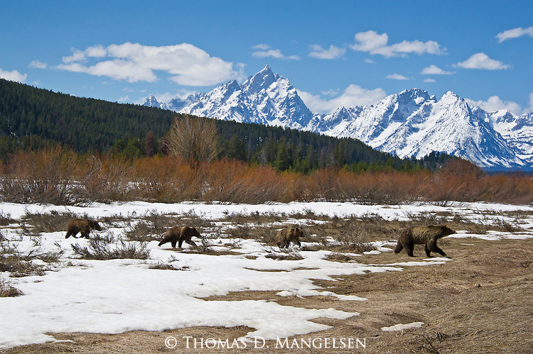 Grizzly 610 leads her cubs through the sage flats below the Tetons in Grand Teton National Park, Wyoming.