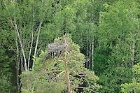 Osprey (Pandion haliaetus). Kemeri National Park, Latvia