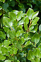New Zealand broadleaf (Griselinia littoralis). An evergreen shrub from New Zealand, where it also known as kapuka.