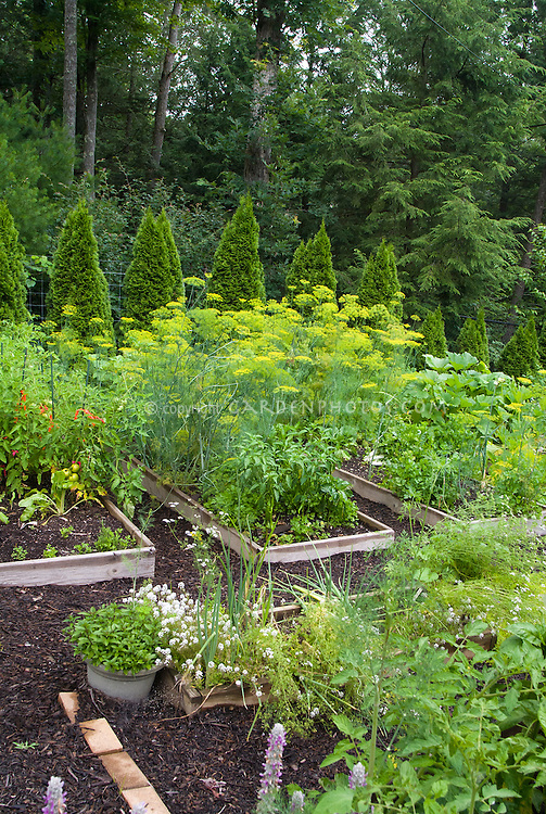 Vegetable garden edibles, herbs, zucchini squash, tomatoes,peppers, mixture in raised beds with pretty evergreen border, flowers, mulch