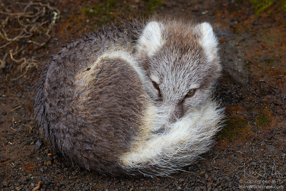 Young Arctic Fox Curled Up Iceland Living Wilderness
