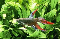 Siamesischer Kampffisch, Männchen, Zuchtform, Betta splendens, Siamese fighting fish, male, Le Combattant, mâle
