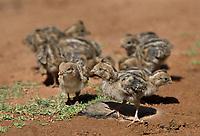 574470039 wild gambel's quail chicks callipepla gambelli forage along the ground in green valley arizona united states