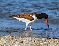 Juvenile American oystercatcher in March
