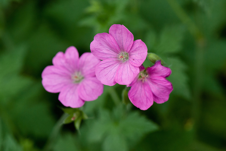 Pink-flowered Geranium endressii, end June.
