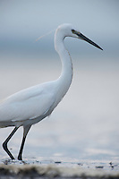 Little egret (Egretta garzetta) on the lake Belau in Moldova