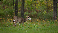 White-tailed doe in an autumn meadow.