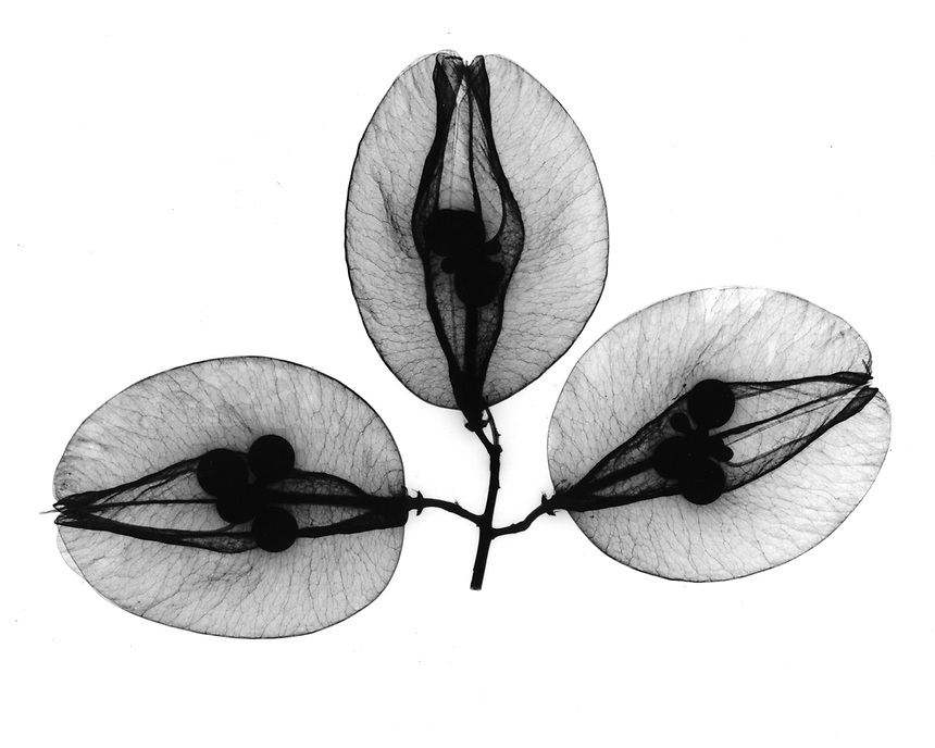 Xray Golden rain tree seedpods