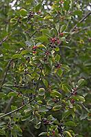 Gewöhnlicher Faulbaum, Früchte, Frangula alnus, syn. Rhamnus frangula, Alder Buckthorn, Bourdaine