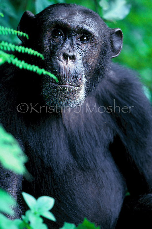 Freud, former alpha male. Fifi's adult son. Eastern Chimpanzee male (Pan troglodytes schweinfurthii). Africa, East Africa, Tanzania, Gombe National Park, Kasakela Community. Jane Goodall Institute/GSRC