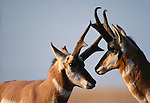 Pronghorn antelope, National Bison Range, Montana, USA
