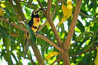 Collared aracari, Pteroglossus torquatus. Wild, in a tree at Zoo Ave, a zoo near San Jose, Costa Rica, specializing in native birds.